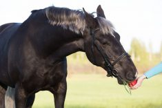 Can Horses Eat Apples?