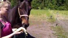 Can horses eat banana