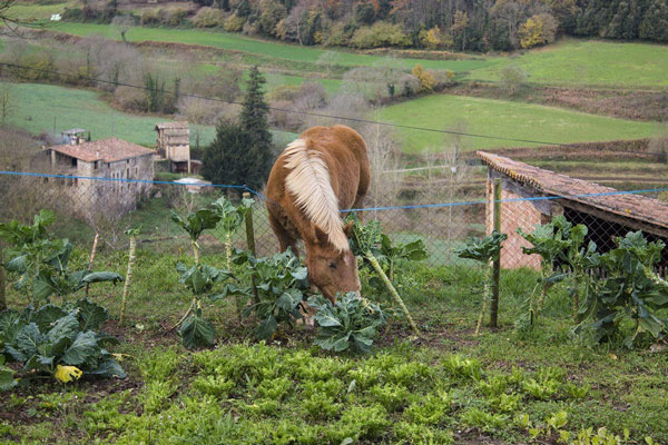 Can Horses Eat Cabbage?