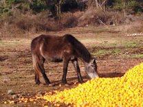 Can Horses Eat Oranges?