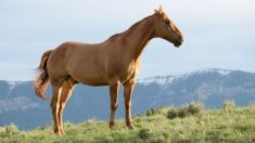 female horse is called a mare