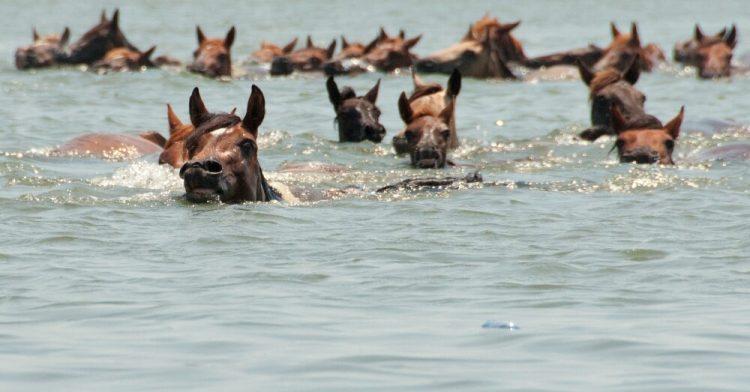 horses swim
