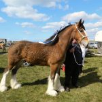 Interesting Clydesdale Horse Facts