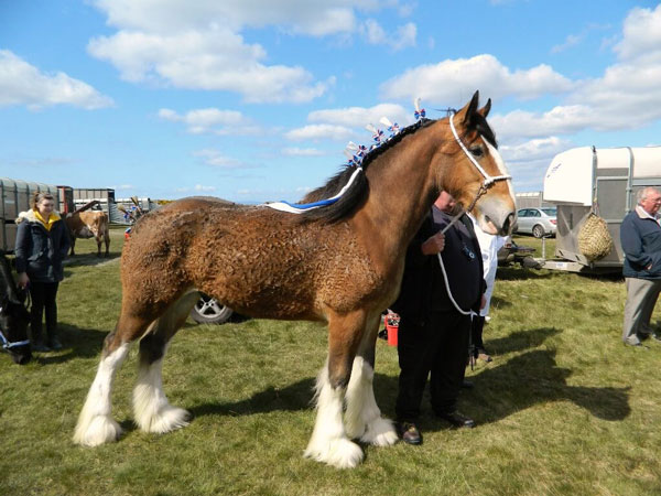 Discover 5 Interesting Clydesdale Horse Facts Horse Is Love