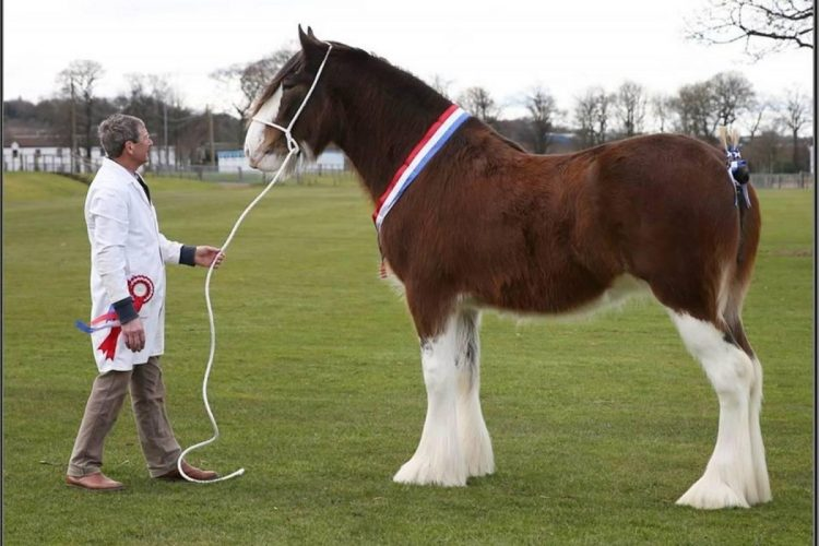 Clydesdale Horse Height