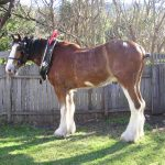 Clydesdale Horse Lifespan