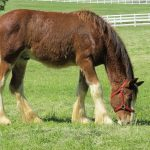 How much does a Clydesdale weigh
