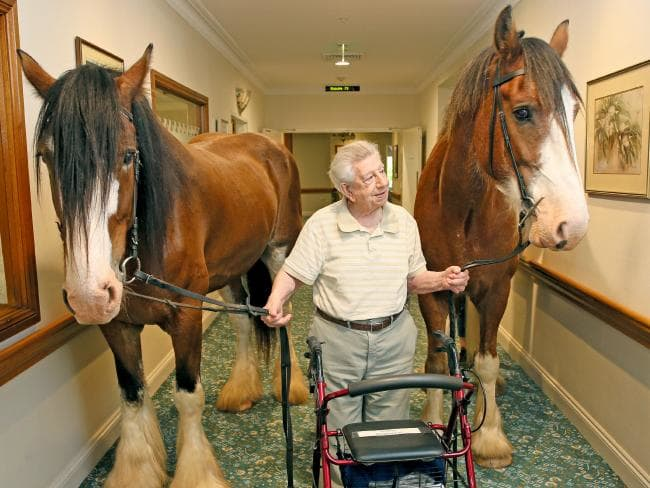 Clydesdales are therapy horses