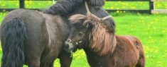 Difference Between A Pony And A Miniature Horse