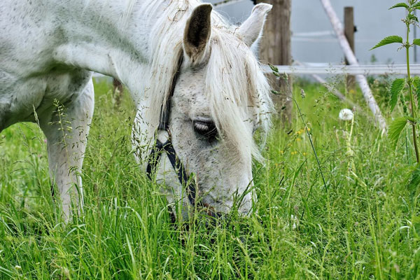 horses use teeth to eat grass