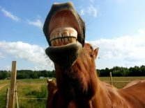 How Many Teeth Do Horses Have?