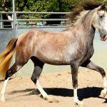 Rose grey horses