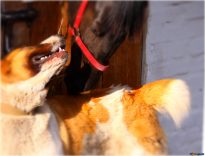 Are Horses Smarter than Dogs?