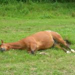 Horse Lying Down On Side
