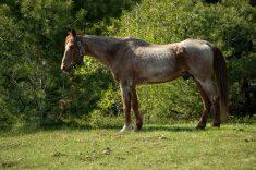 How Long Do Horses Live?