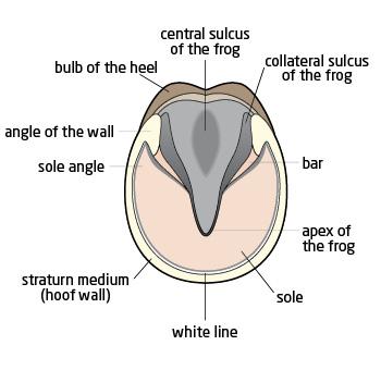 parts of horse hoof
