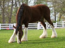 how much does a clydesdale cost