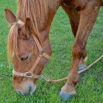 are horses ruminants