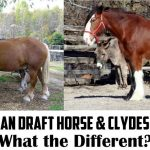 belgian draft horse vs clydesdale