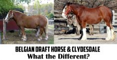 belgian draft horse vs clydesdale