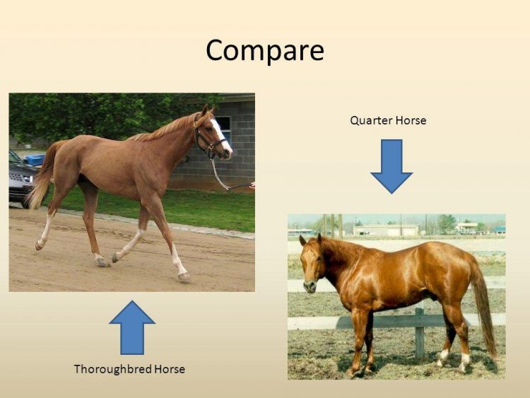 Different Between The Quarter Horse And Thoroughbred