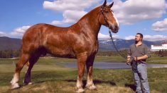 Largest Horse Breeds In The World