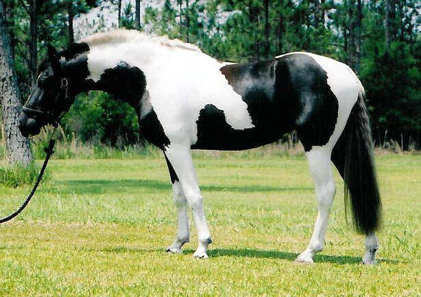 Pinto sport horse