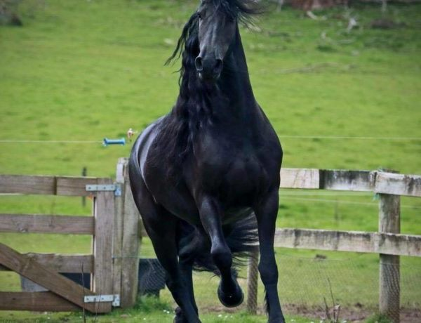 baroque friesian horse