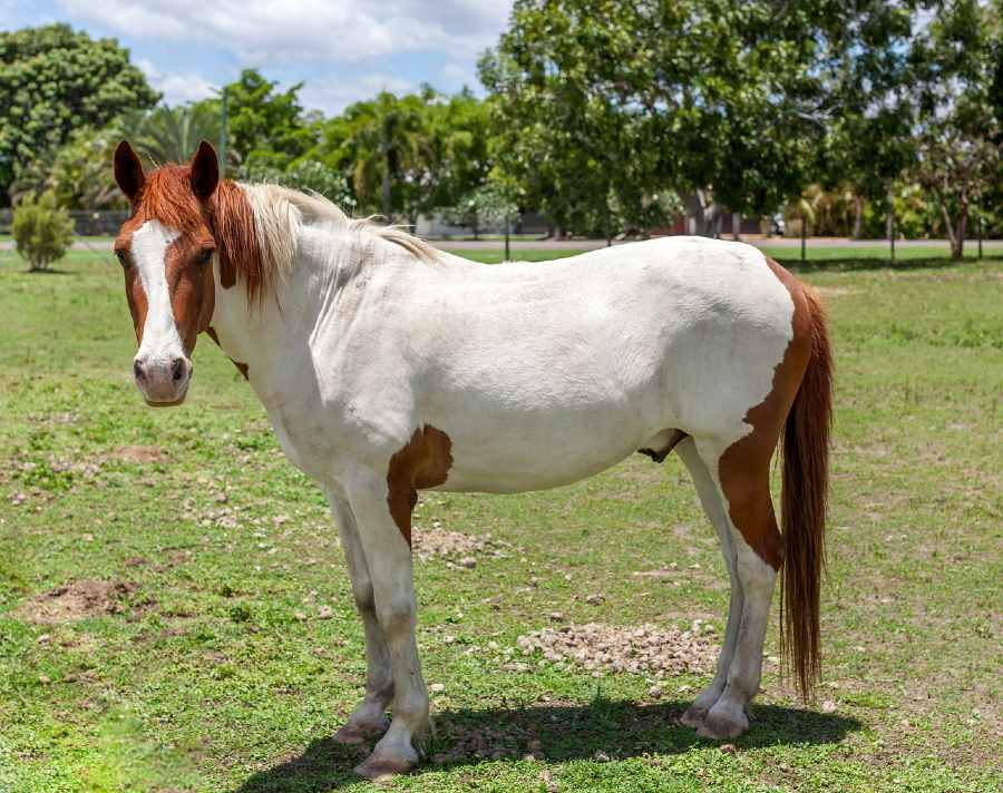 different between paint and pinto horse