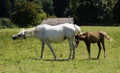 how many horse breeds are there in the world