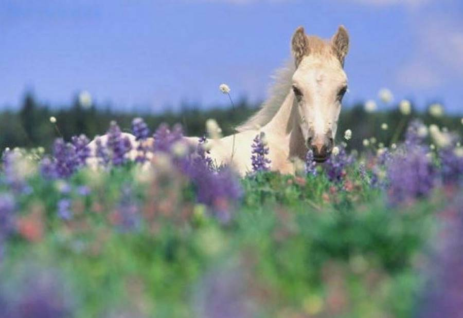 lavender essential oil for horse