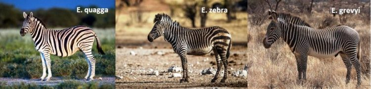 equine family related to zebra