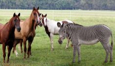 Zebra vs Horse
