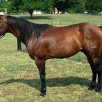 American Quarter Horse Weight