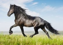 Friesian Horse weight