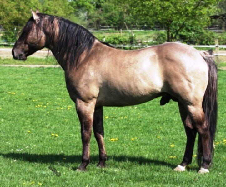 American Quarter Horse's Lifespan