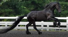Interesting Friesian Horse Facts