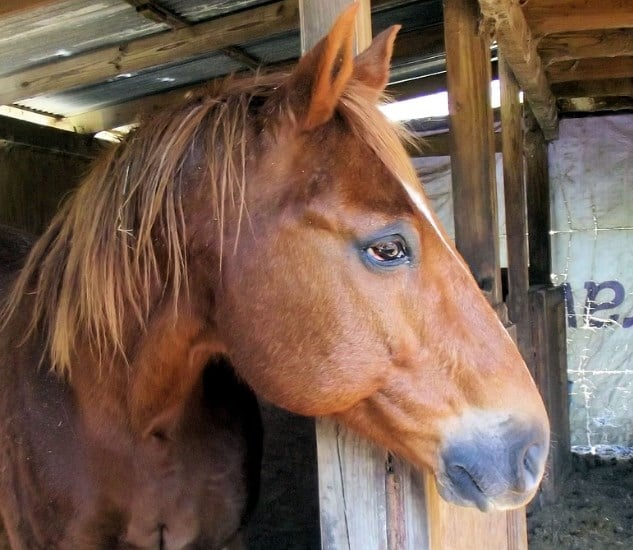 A Red-brown Quarter Horse