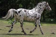 Appaloosa horse facts