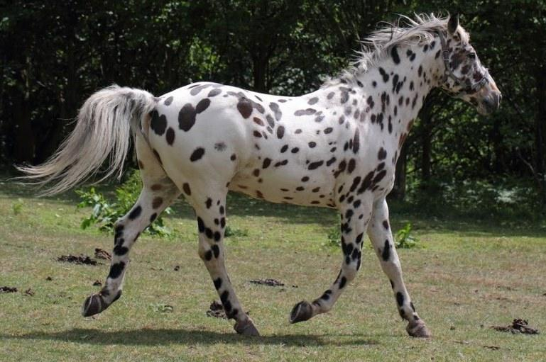 Appaloosa horse facts