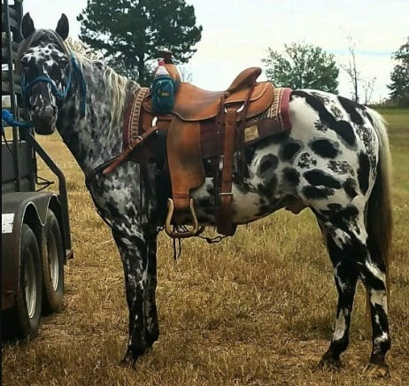 appaloosa horse for trail riding