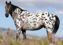 Appaloosa horse height