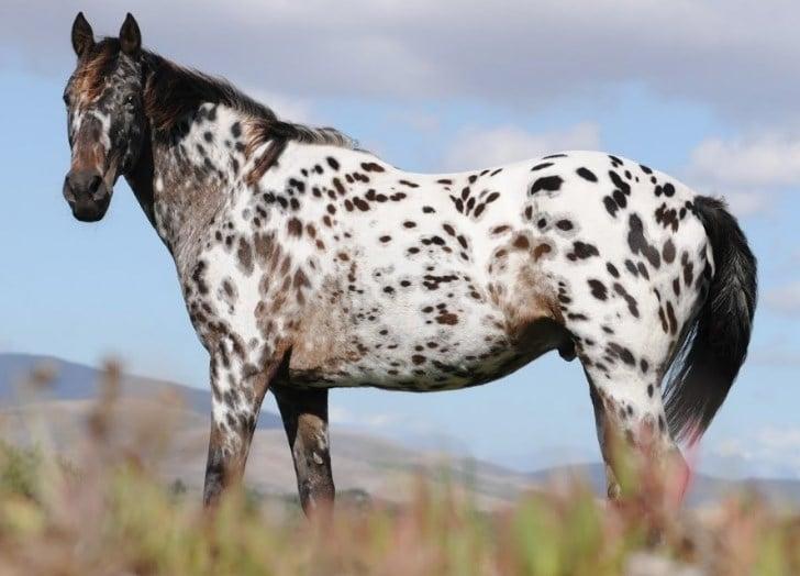 Appaloosa horse height