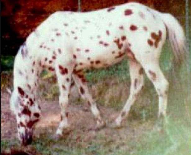 Kemo's Fire Shadow - oldest appaloosa horse