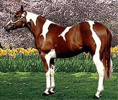 Kurrabi Karma - oldest living paint horse
