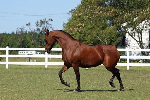 Padrons Victory - Tallest Arabian Horse