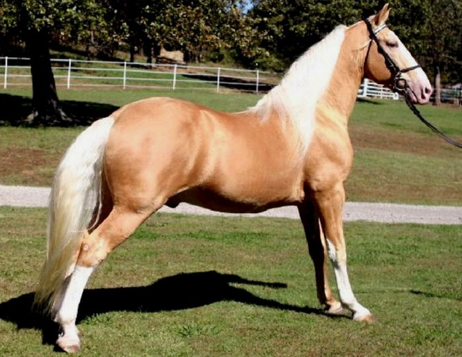 Tennessee Walker Horse price