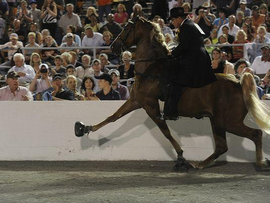 Tennessee Walker horse during a show ring