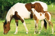 american-paint-horse-facts