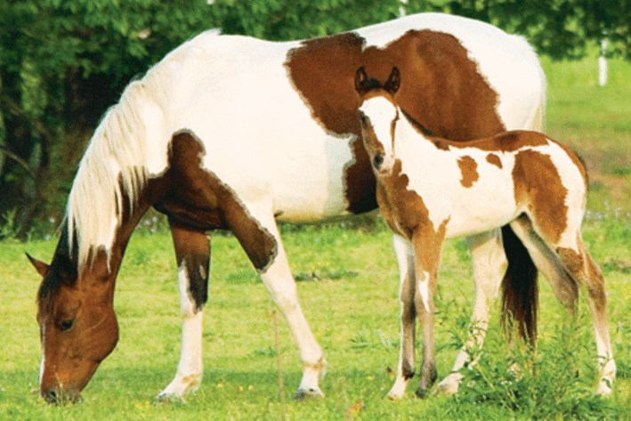 american paint horse facts